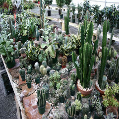 Many Cactus to Choose